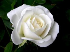 Essência Rosa Branca